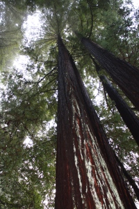 Redwood Canopy Photo